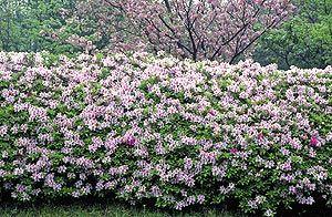 ヒラドツツジの花