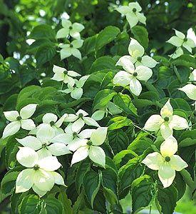 ヤマボウシの花