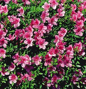 サツキツツジの花