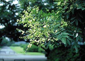 エンジュの花